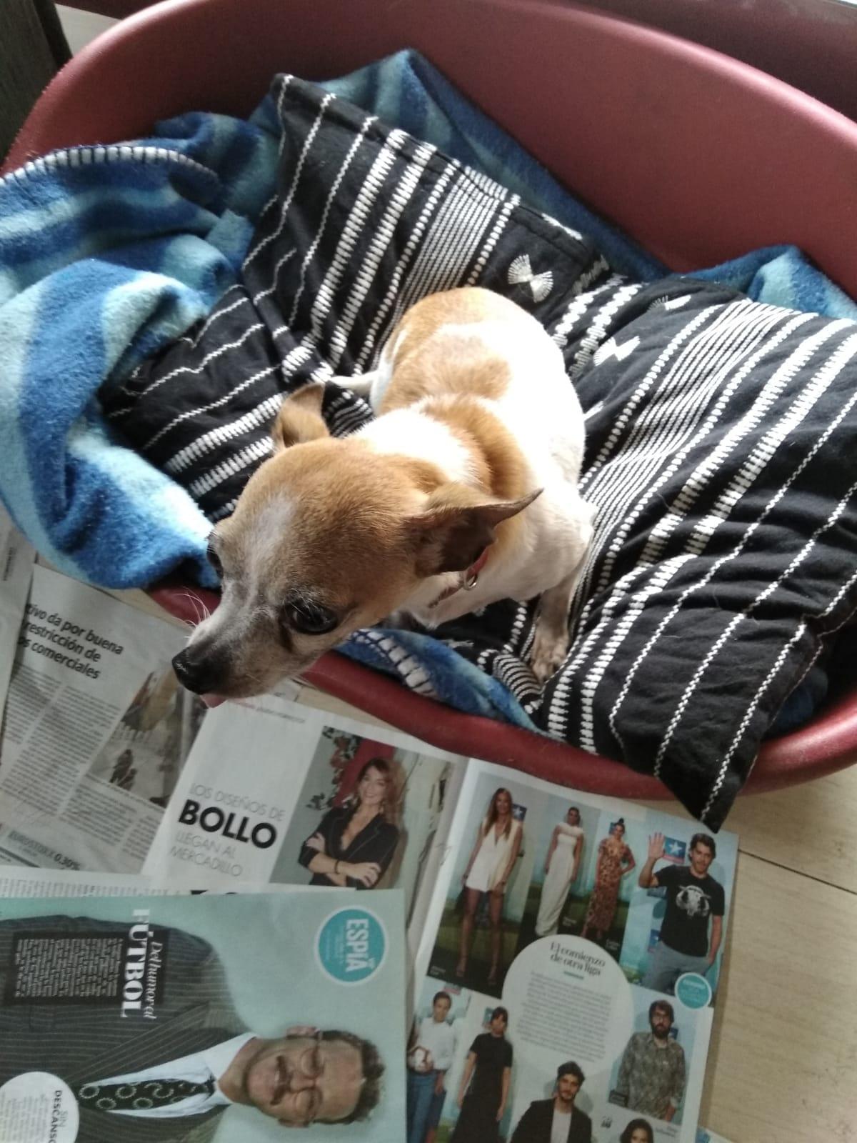 perro pequeño adopcion